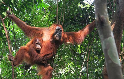 Sumatran Orangutan & child