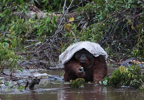 Orangutan rain cover