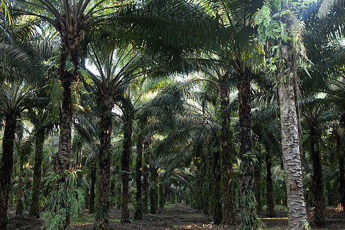 Monoculture Oil Palms