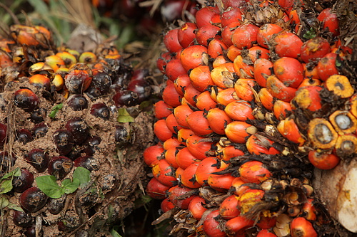 Colourful yet Deadly Oil Palm Fruit